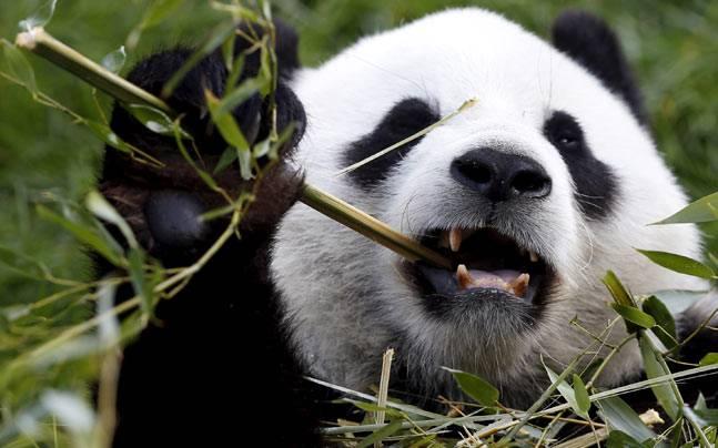 Chinas first panda cub born through natural mating this year