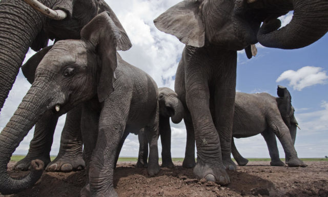Feeding ceremony of elephants: Outfit alleges jumbo torture